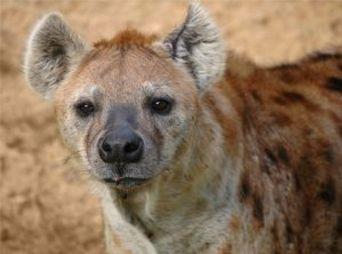 Hombre es devorado por hiena mientras hablaba con su esposa