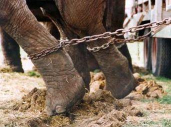 Aprueba en Comisión prohibir el uso de animales en circos en Sonora